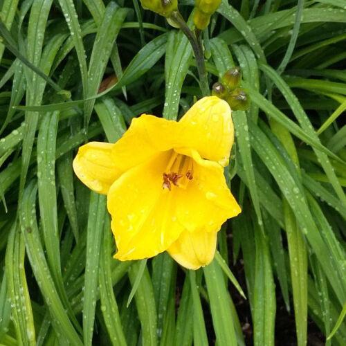 10 Fächer der Hemerocallis /'Pizza/' Taglilie Daylily essbare Blüten frühe Sorte