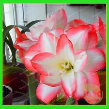 5Bulbs - Amaryllis Bulbs,True Hippeastrum Bulbs Flowers (Not Hippeastrum seeds)