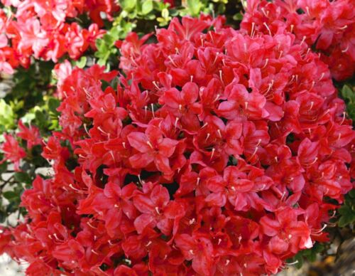 Azalea Diamant Red Diamond Garden Shrub Plant 9cm Pots 3 PACK