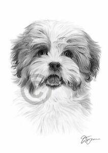 SHIH-TZU-dog-art-A4-size-signed-pencil-drawing-artwork-print-Pet-Portrait