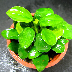 Anubias nana mini live aquarium plants water moss co2 ebay for Petit aquarium