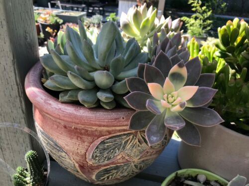 California sunset variegated ghost . 20 leaves 5 each Bronze