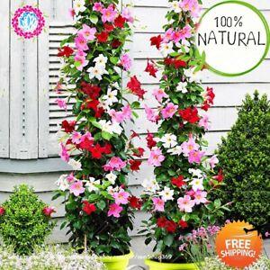 Climbing-Mandevilla-Sanderi-Seeds-Plants-Dipladenia-Bonsai-Flower-100pcs-bag