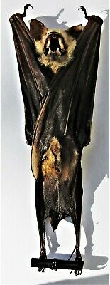 Diadem Roundleaf or Leaf-Nosed Bat Hipposideros diadema Skeleton Fast from USA