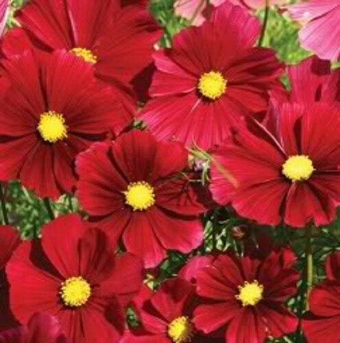 300 RED DAZZLER COSMOS Bipinnatus Flower Seeds *Comb SH