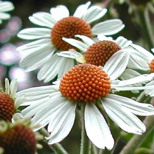 """Extremely rare """"Giant Tree Daisy""""! - Podachaenium - Huge, scented leaves!"""