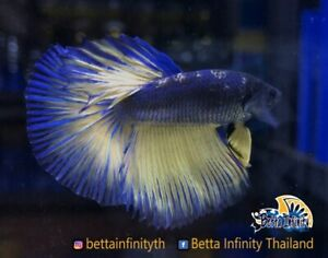 Rare! (Limited) : Premium Live Betta Fish : Male : Half Moon Minion
