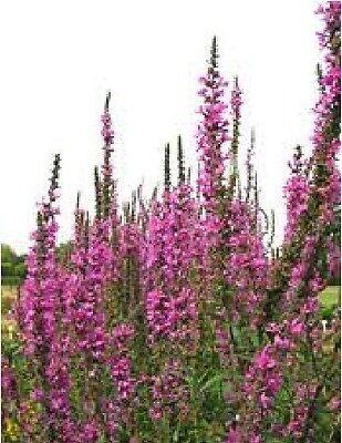 Flower - Lythrum salicaria - Rosy Gem - 500 Seeds