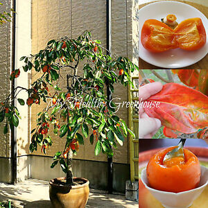 SEEDS-Self-pollinating-Dwarf-Hachiya-Asian-Persimmon-Food-of-the-Gods