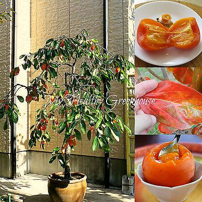 Food of the Gods! SEEDS Self-pollinating Dwarf Hachiya Asian Persimmon