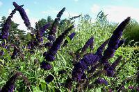 2L Pot Buddleia Davidii Black Knight. Butterfly Bush Shrub Plants