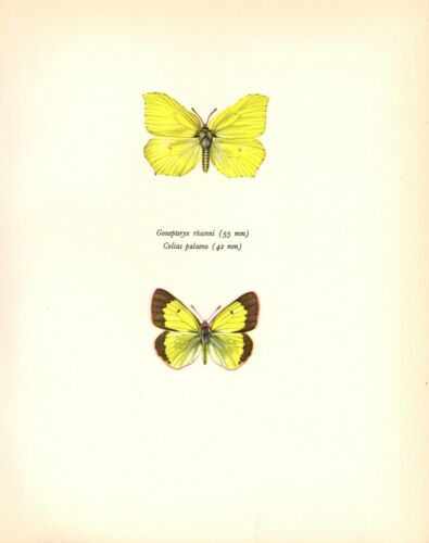 "1963 Vintage PROCHAZKA BUTTERFLY /""BRIMSTONE /& ALPINE/"" COLOR offset Lithograph"