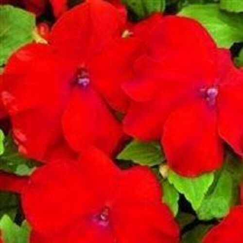 Busy Lizzy Impatiens Xtreme Red F1-25 Seeds