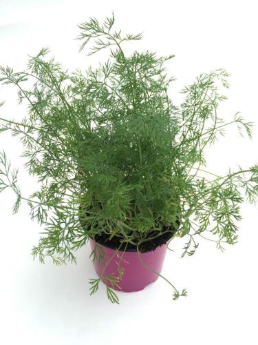 Anethum graveolens Frische Kräuterpflanze Dill Pflanze