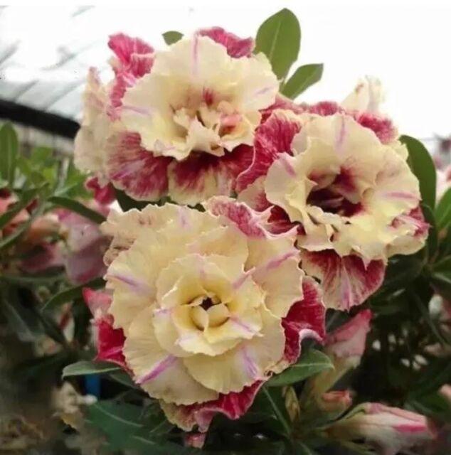 5 Pcs Desert Rose Flower Adenium Obesum Peony Bonsai Seeds For Sale Online