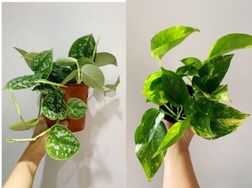 Two Plants Scindapsus Pictus Argyraeus Silver Satin /& Devil's Ivy Golden Pothos