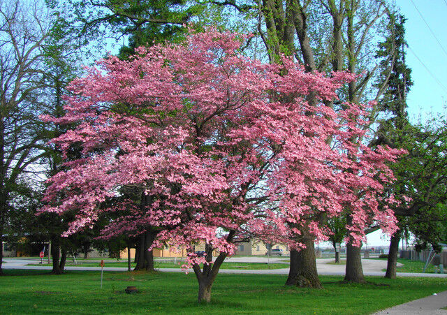 cornus florida rubra pink flowering dogwood southern 25. Black Bedroom Furniture Sets. Home Design Ideas