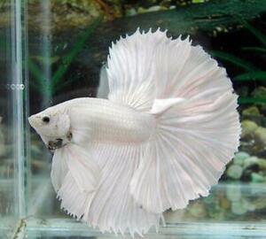 Live Betta Fish Male High Quality Halfmoon High Quality Super White Vocalo #1