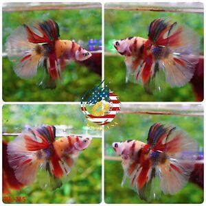 BL-115 Live Betta Fish High Quality Halfmoon HM Male Nemo Tiger Candy Galaxy Koi