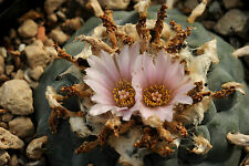 Samen Seeds 100 Stück Lophophora williamsii, northern type