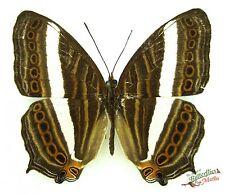 Indonesian map butterfly Cyrestis strigata SET x1 TS A- M art real nymphalidae