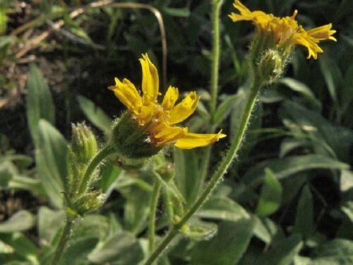 Streambank Arnica Seeds 35+ Arnica amplexicaulis