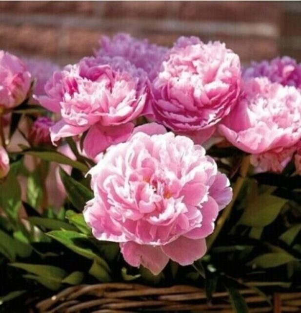Peony Bare Roots Perennial Pinky Hand Flower Hardy Resistant Bonsai Rare Plants