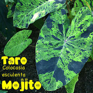 MOJITO-TARO-Colocasia-esculenta-VARIEGATED-CAMO-ELEPHANT-EAR-POT-039-D-Small-Plant