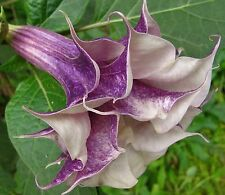 Beautiful Purple Angel Trumpets Datura Seeds 80 Seeds