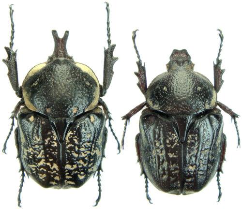 Pair 25mm+//- ....!! Hypselogenia corrosa Tanzania Insect