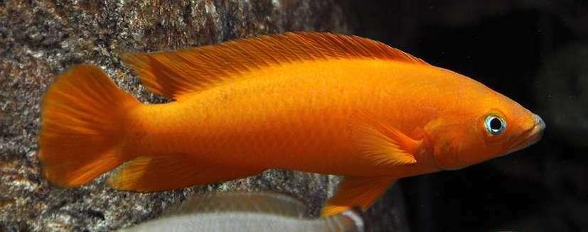 6 (sei) x neolamprologus leleupi  uvira  SUPER Arancione (lago tanganica dei ciclidi)