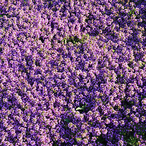 Sand-Thymian-Thymus-serpyllum-4000-Samen-Saatgut-Bodendecker-Blumen