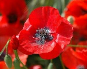 3000 Red Corn Poppy Seeds Papaver rhoeas Free Shipping