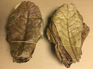 1-Kg-Seemandelbaumblaetter-20cm-ueber-500-Stueck-Catappa-Leaves-in-TOP-Qualitaet