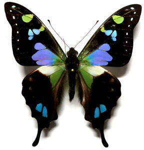 Graphium weiskei male *Papua New Guinea*