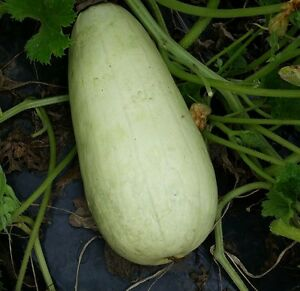 Seeds Semillas hortícolas de Batlle Calabaza Luffa