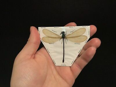Entomologie Insecte Libellule Neurobasis chinensis florida ! TOP QUALITY!