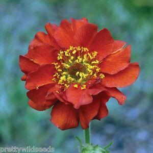 Geum mrs j bradshaw scarlet hp perennial flame red flower 500 to image is loading geum mrs j bradshaw scarlet hp perennial flame mightylinksfo
