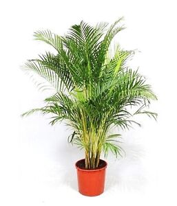 dypsis lutescens areca palm golden cane palms ornamental plant seed