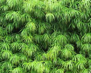 winterharter-frostharter-Baum-Garten-Pflanze-Exot-Samen-Saatgut-i-STEINEIBE-i