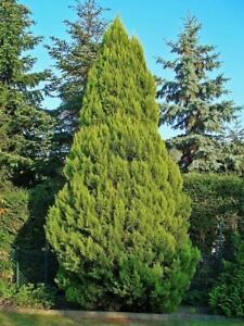 150-Semillas-Cipres-de-Lawson-Chamaecyparis-lawsoniana