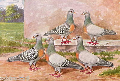 Tool Box Coburg Larks  Pigeon  Refrigerator Magnet