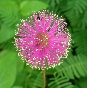 50 sensitive plant seeds mimosa pudica fun easy grow combsh d25 ebay. Black Bedroom Furniture Sets. Home Design Ideas