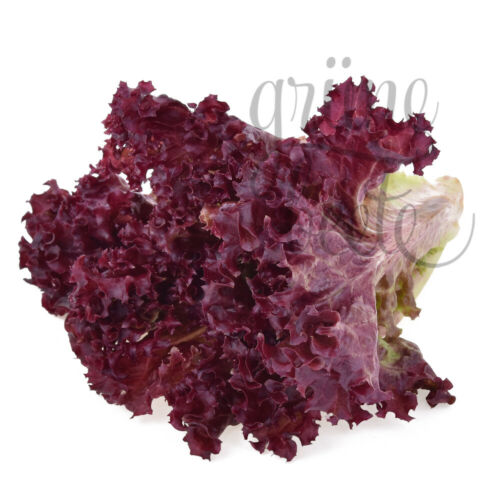 Lollo Rossa 400 Graines pflücksalat salade Lollo Rosso Lactuca Sativa SEEDS