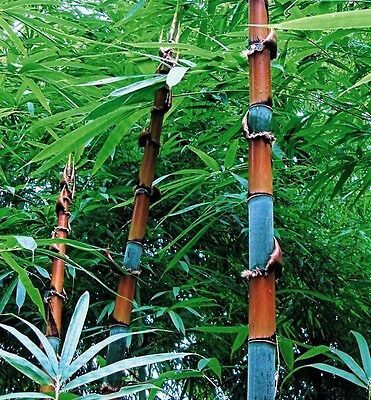 Cephalostachyum pergracile (Tinwa Bamboo) Very rare - 10 Fresh seeds