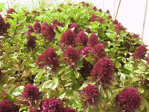 50-Basil-Seeds-Cardinal-Red-Seeds-Herb-Seeds-Ornamental-Basil