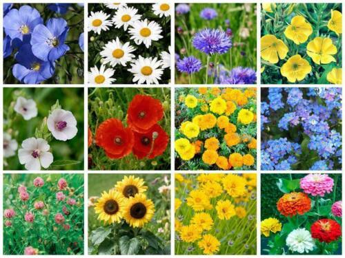 Flower Meadow Mix Wild Flower Seeds 40g Scented Flower Grass Seed Wildflower mix