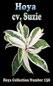 Hoya-cv-Suzie-x-1