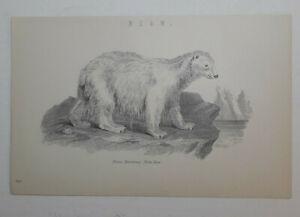 Original 1880 Lithograph. BEAR. Beautiful Condition.