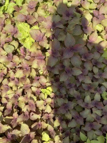 6 Live Starter Plants  Perilla Shiso Tía Tô Beefsteak Purple Mint Bare Roots